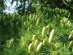 Ceder 10ml INCI:Juniperus Mexicana Virginia