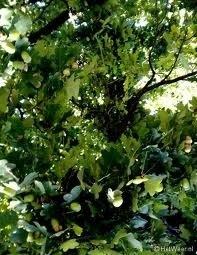 Meristeemextract  10ml: INCI: Aqua, Quercus rubor wortelextract, fenoxyethanol, methyl-, ethyl-, propyl-, butylparabeen.