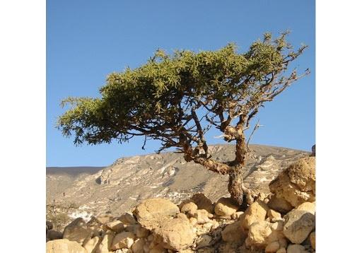 Myrre 10ml INCI; Commiphora myrrha