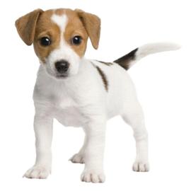 Boerenfox Pup