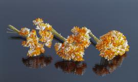 Gipskruid oranje/wit 20 stuks