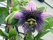 Passiebloem - Passiflora incarnata druppels / tinctuur 100ml.