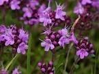 Tijm - Thymus vulgaris druppels / tinctuur 100ml.