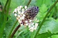 Smalle weegbree - Plantago lanceolata tinctuur 100ml