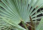 Sabal - Serenoa repens druppels / tinctuur 100ml.
