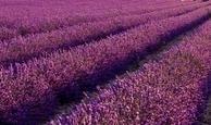 Lippenbalsem Lavendel 30ml