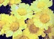Amerikaanse Chrysant  - Chrysanthellum americanum 120 vega capsules