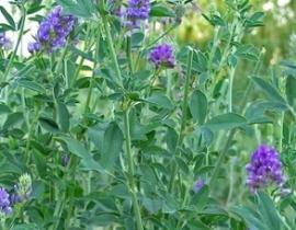 Alfalfa kruid 100g