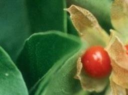 Ashwaganda wortel gemalen 100g
