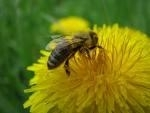 Paardebloem - Taraxacum officinalis druppels / tinctuur 100ml