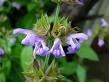 Salie - Salvia officinalis druppels / tinctuur 100ml.