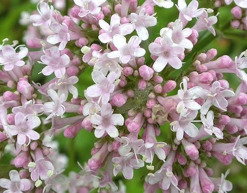 Valeriaan - Valeriana officinalis 60 vega capsules