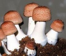 Agaricus blazei MRL 90 tabletten