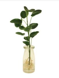 Pannekoekplant in glas