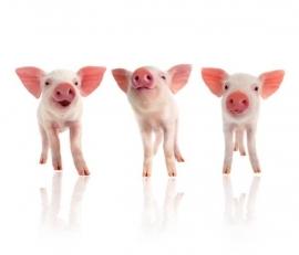 Fotobehang Noordwand Farm life 3750049 Piglets