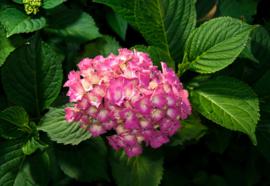 Fotobehang Hydrangea Pink Flowers
