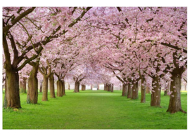Fotobehang Kersenbomen in bloesem