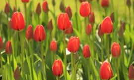 Fotobehang Holland 6226 - Tulpen rood ||