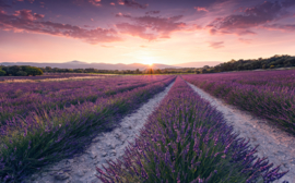 Fotobehang Wanderlust SHX9-052 lavendelveld