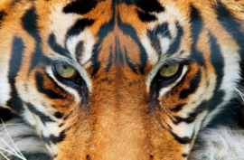 Fotobehang Idealdecor 00608 tijger