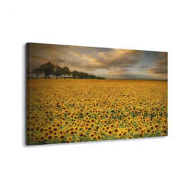 Canvasdoek Sunflowers by Piotr Krol