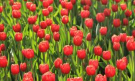 Fotobehang Holland 6224 - Tulpen rood