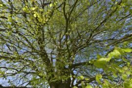 Fotobehang Holland 3354 - Beukenblad voorjaar