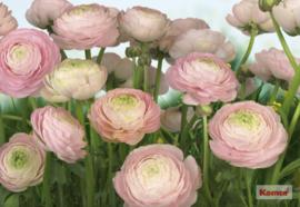 Komar 'Beauties' 8-894 Gentle Rosé