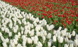 Fotobehang Holland 8123 - Tulpen wit en rood