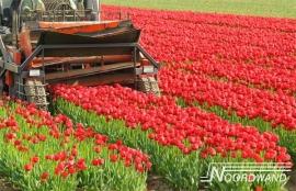 Fotobehang Noordwand Farm life 3750003 Tulip field