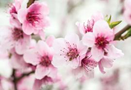 Fotobehang Cherry Blossom Flowers