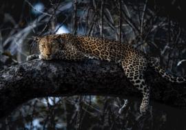 Komar Into Adventure IANGX8-027 National Geographic Panthera 400cm x 280cm hoog