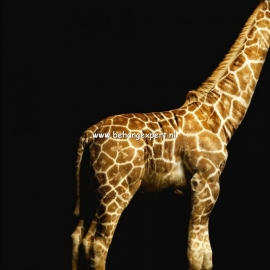 Fotobehang AP Digital 470035 Giraffe