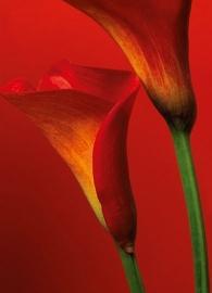 Fotobehang Idealdecor 00406 Red Calla Lilies
