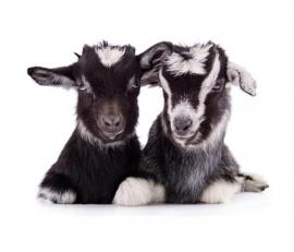 Fotobehang Noordwand Farm life 3750055 Goats