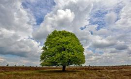 Fotobehang Holland 9621 - Beukenboom op de heide