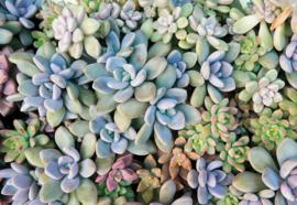 Fotobehang Succulent Plants