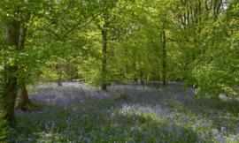 Fotobehang Holland 7659 - Bos met blauwe Lelies