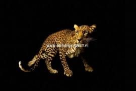 Fotobehang AP Digital 470036 Leopard
