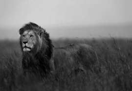 Fotobehang Black And White Lion