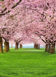 Fotobehang Idealdecor 00385 Cherry Trees