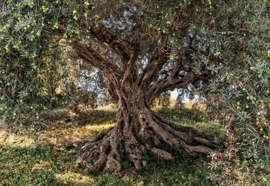 Komar National Geographic fotobehang 8-531 Olive Tree