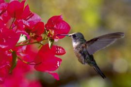Fotobehang Kolibrie
