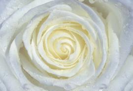Fotobehang Witte roos