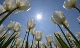 Fotobehang Holland 4997 - Tulpen met zon