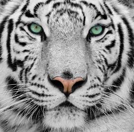 Dutch DigiWalls fotobehang art. 70080 Witte tijger