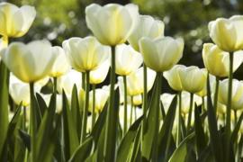 Fotobehang Witte tulpen