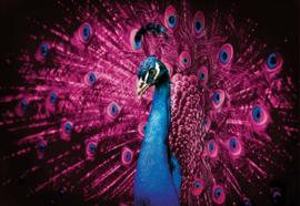 Fotobehang Pauw met roze veren