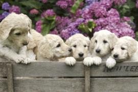 Fotobehang Labrador puppies