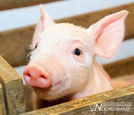 Fotobehang Noordwand Farm life 3750077 Pig